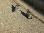 Pauvres pigeons qui longent les canivaux en quête de nourriture