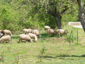 La politique, les moutons, les chiens et les bergers. dans POLITIQUE 083-300x225